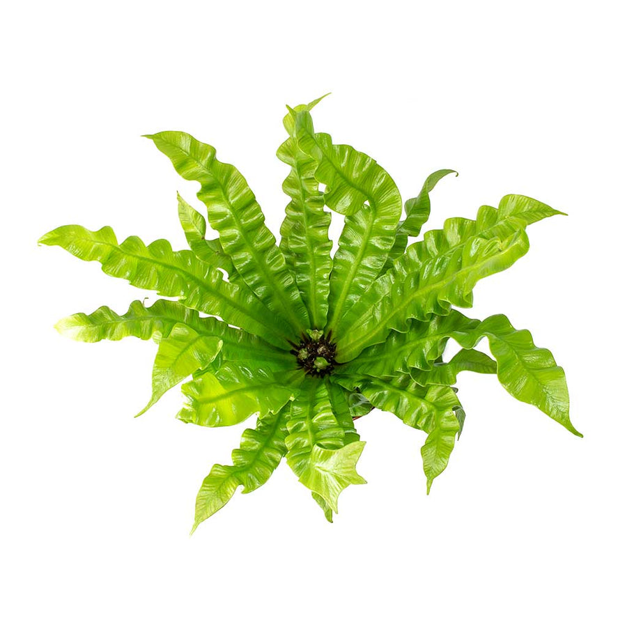 Asplenium nidus Crispy Wave - Pleated Bird's Nest Fern 30cm