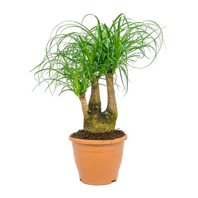 Beaucarnea - Pony Tail Palm - Branched - 60cm