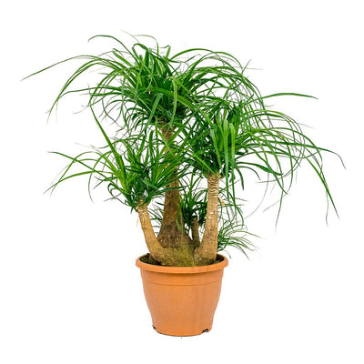 Beaucarnea - Pony Tail Palm - Branched - 75cm