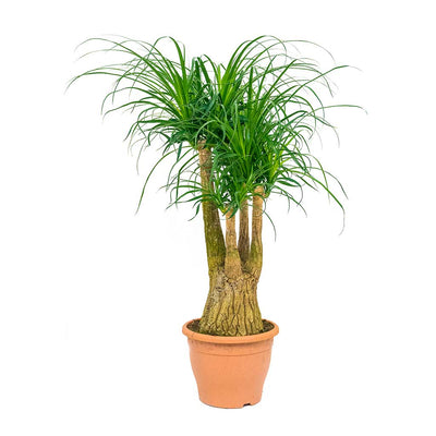 Beaucarnea - Pony Tail Palm - Branched - 90cm