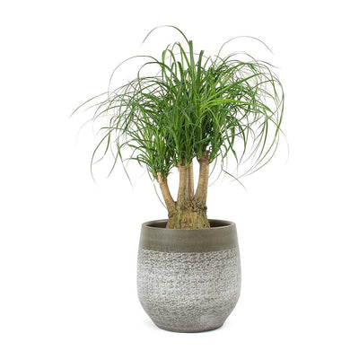 Beaucarnea - Pony Tail Palm - Branched & Merin Olive Plant Pot