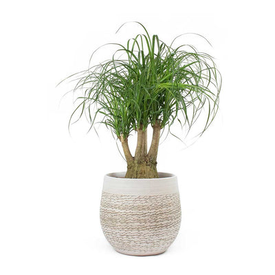 Beaucarnea - Pony Tail Palm - Branched & Merin Sand Plant Pot