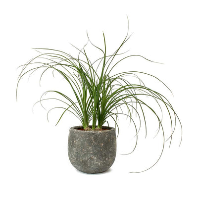 Beaucarnea - Pony Tail Palm - Head & Amber Earth Plant Pot