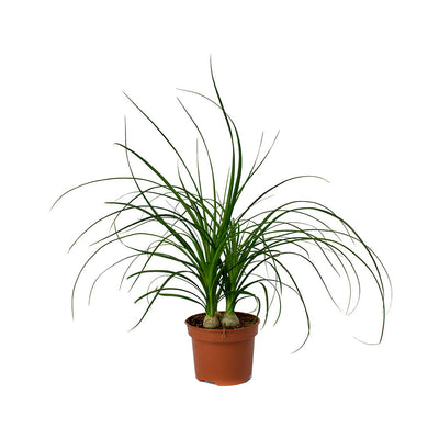 Beaucarnea - Pony Tail Palm - Head 45cm
