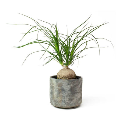 Beaucarnea Pony Tail Palm - Orb & Saar Plant Pot - Earth Cement