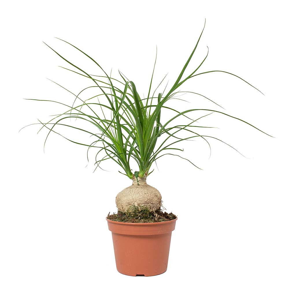 Beaucarnea - Pony Tail Palm - Orb