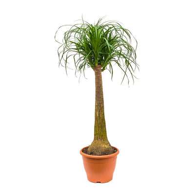 Beaucarnea - Pony Tail Palm - Single Stem 100cm
