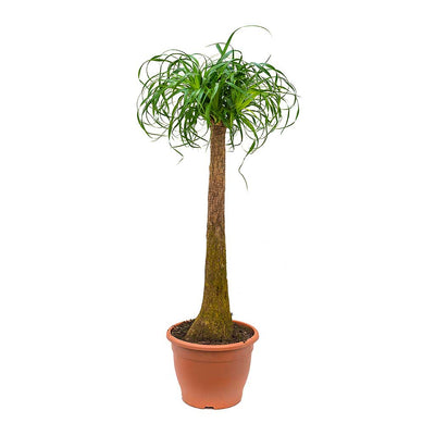 Beaucarnea - Pony Tail Palm - Single Stem - Tall