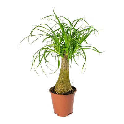 Beaucarnea - Pony Tail Palm - Single Stem 45cm