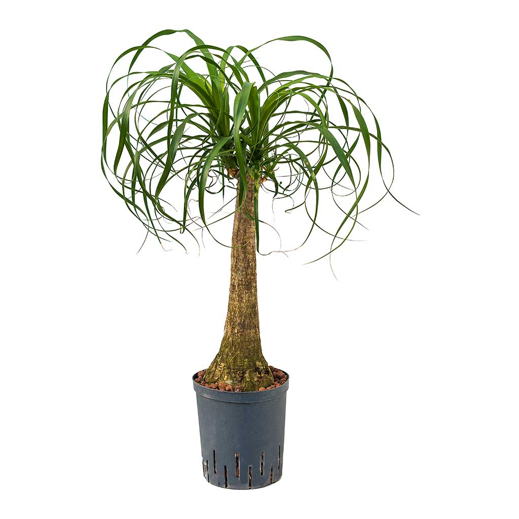Beaucarnea Pony Tail Palm Single Stem Hydroculture Indoor Plant Large