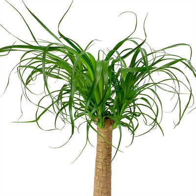 Beaucarnea - Pony Tail Palm - Single Stem Leaves