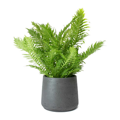Blechnum gibbum - Dwarf Tree Fern & Patt Black Washed Plant Pot