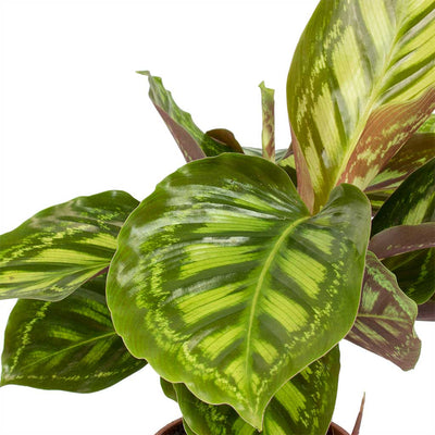 Calathea Flamestar Leaves