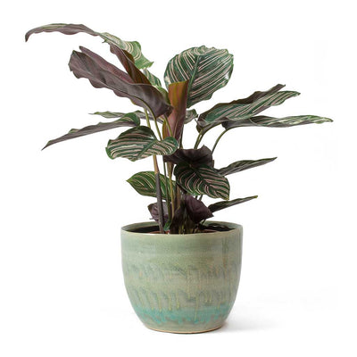 Calathea Sanderiana Pin-Stripe Calathea & Lara Plant Pot Light Blue