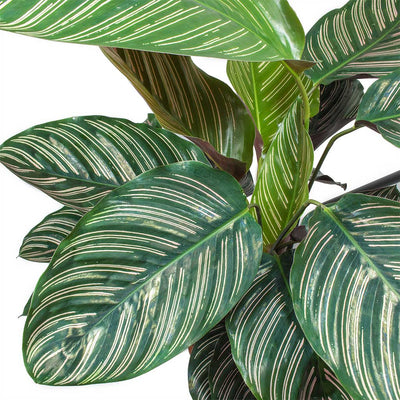 Calathea Sanderiana - Pin-Stripe Calathea Leaves