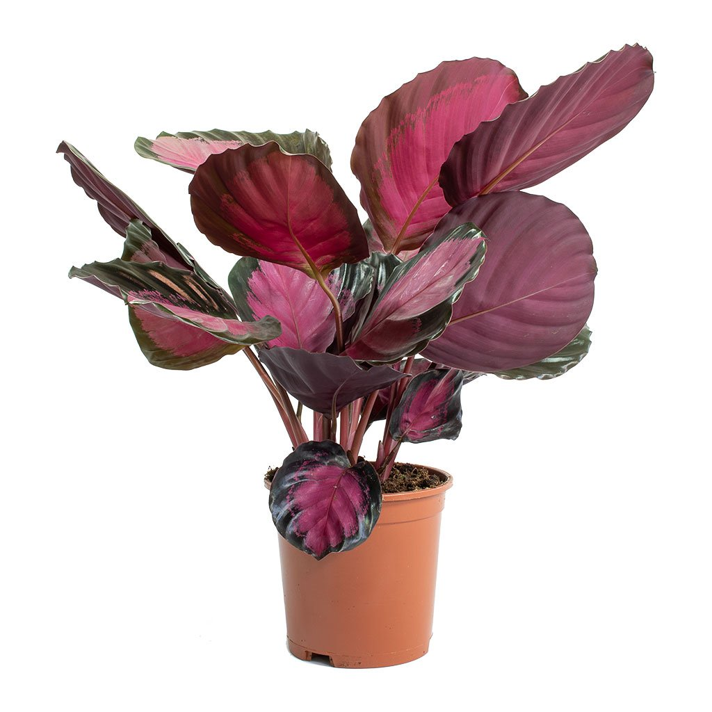 Calathea picturata Crimson Houseplant