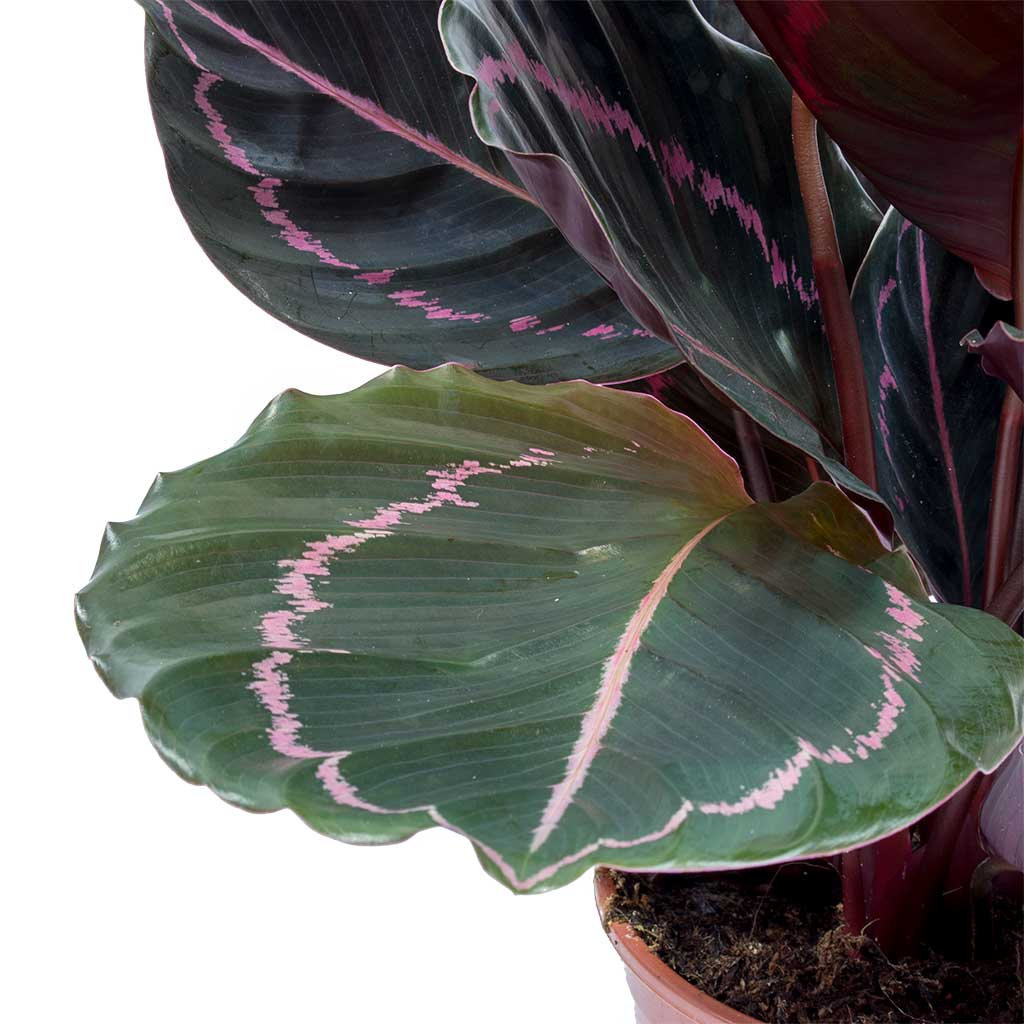 Calathea roseopicta Dottie - Rose Painted Calathea