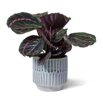 Calathea roseopicta Dottie Rose Painted Calathea & Onno Plant Pot Blue