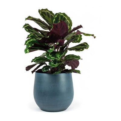 Calathea roseopicta Medallion & Esra Plant Pot Dark Blue
