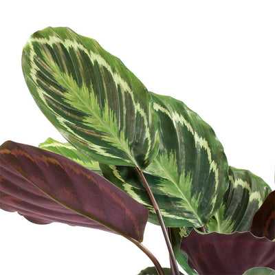 Calathea roseopicta Medallion Leaves