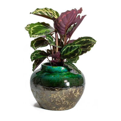 Calathea roseopicta Medallion & Lindy Jar Plant Pot Black Green