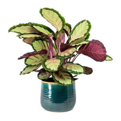 Calathea roseopicta Silvia Rose Painted Calathea Leaves & Iris Plant Pot Turquoise