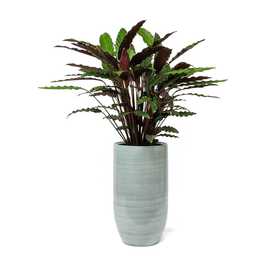 Calathea rufibarba - Velvet Calathea House Plants - Hortology on house plants with light green leaves, house plants with shiny leaves, house plants and their names, house with red flowers, wandering jew with fuzzy leaves, house plants with waxy red blooms, olive tree green leaves, florida plants with red leaves, tomato plants with purple leaves, house plants with small leaves, perennial plants with purple leaves, house plants with long green leaves, house plants with colorful leaves, poisonous plants with purple leaves, house plant rubber plant, house plants with bronze leaves, house plants with dark red leaves, house plant purple heart, purple house plant fuzzy leaves, purple foliage plants with leaves,