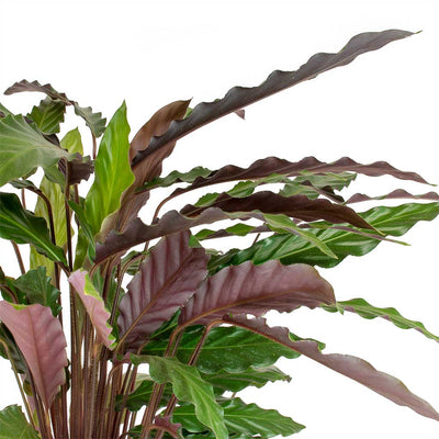 purple leaf plants with leaf, purple leaf shrub with pink flowers, hydrangea with purple leaves, on house plant with leaves purple red