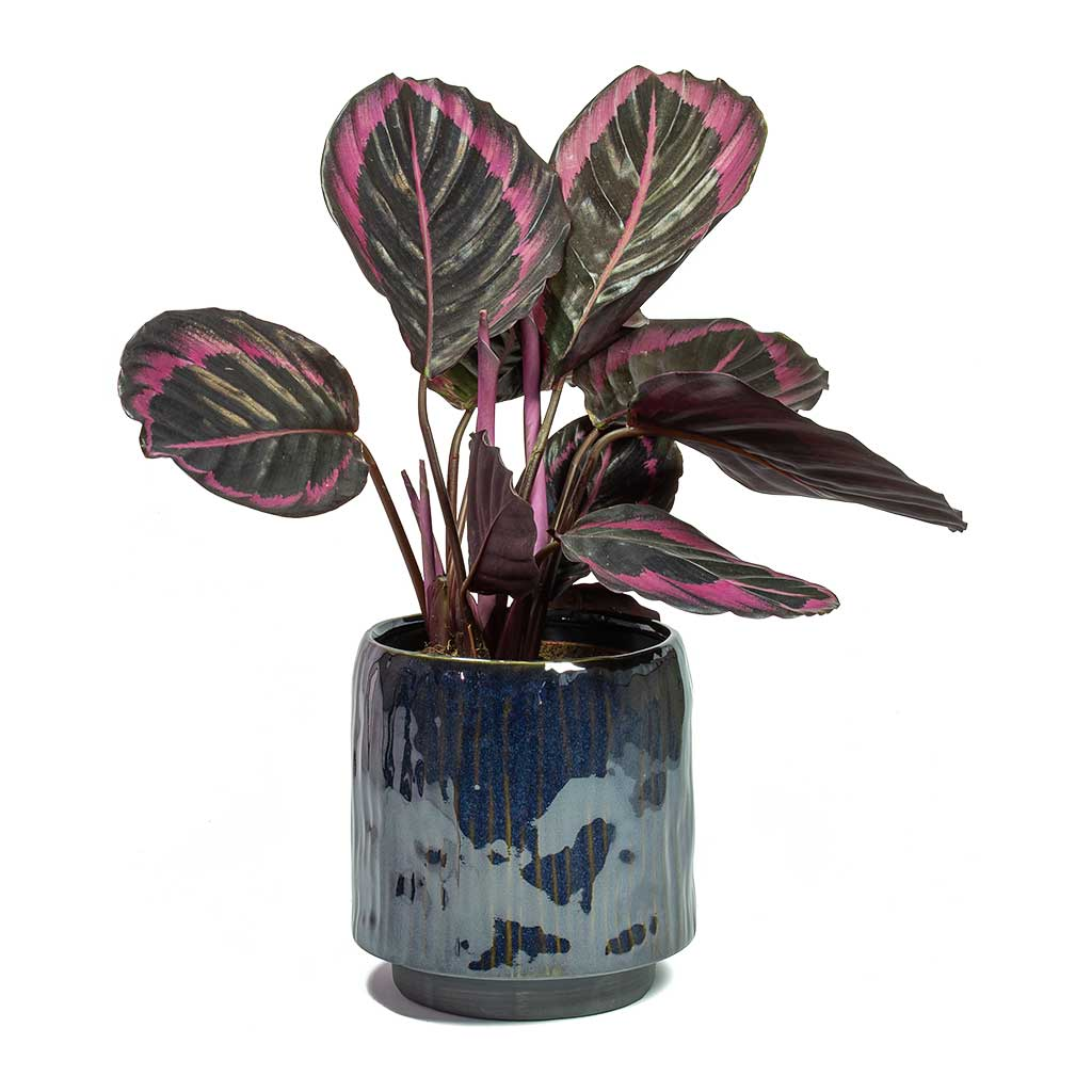 Calathea roseopicta Surprise Star - Rose Painted Calathea