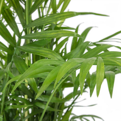 Chamaedorea elegans - Parlour Palm Leaves