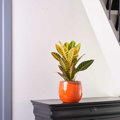 Charlotte Plant Pot - Red Orange with Croton Houseplant