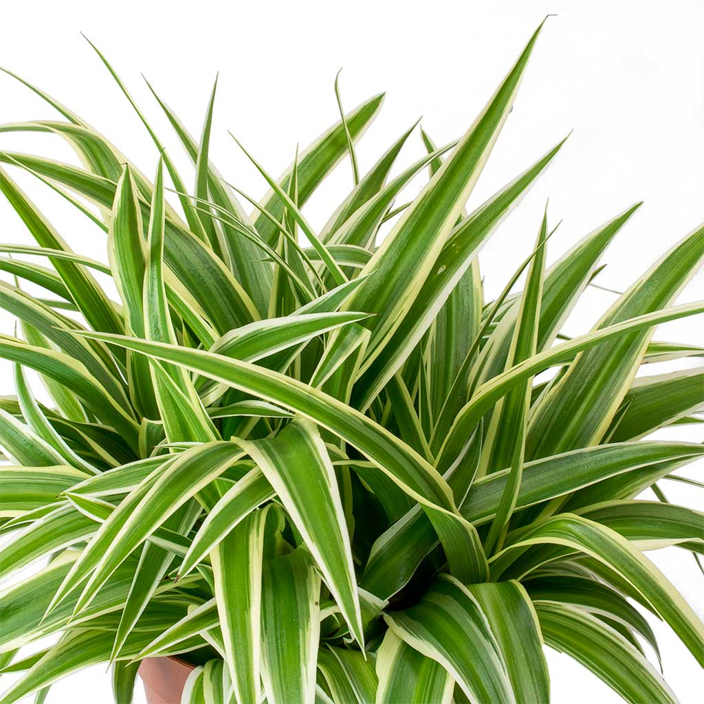 Picture of Live Spider Plant Variegated aka Chlorophytum comosum Plant Fit 1QRT Pot