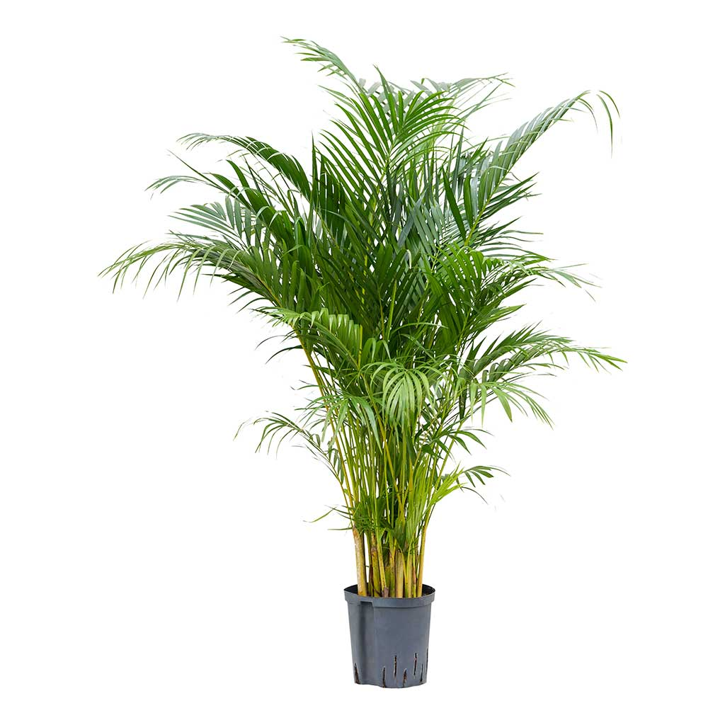 Chrysalidocarpus Areca Palm Hydrocultur Indoor Plant Medium
