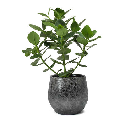 Clusia rosea Princess - Autograph Tree & Esra Lead Plant Pot