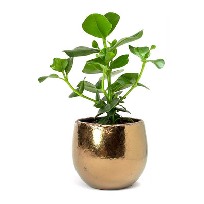 Clusia rosea Princess - Autograph Tree & Kirsty Gold Plant Pot