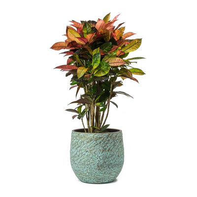 Codiaeum Iceton Croton & Evi Antique Bronze Planter