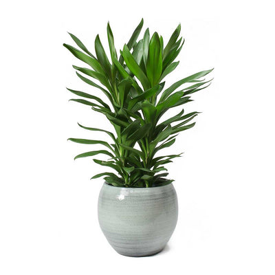 Cordyline fruticosa Glauca - Green Ti Plant & Cresta Ice Blue Plant Pot