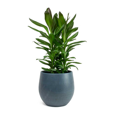 Cordyline fruticosa Glauca Green Ti Plant & Esra Plant Pot - Dark Blue