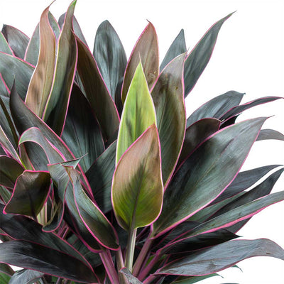 Cordyline fruticosa Rumba - Hawaiian Ti Plant Leaves