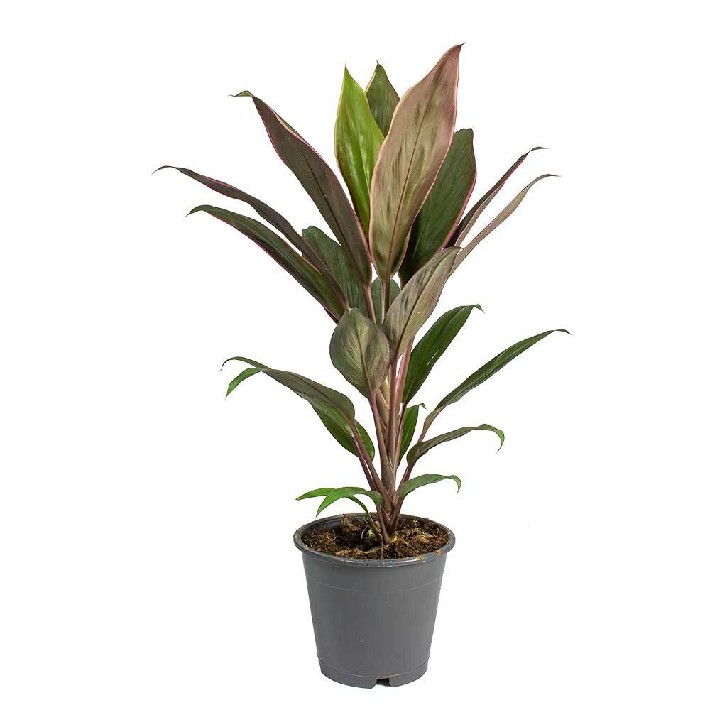 Cordyline fruticosa Rumba - Hawaiian Ti Plant - Small