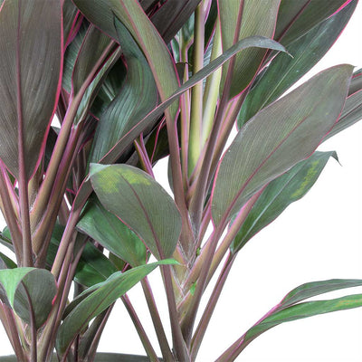 Cordyline fruticosa Rumba - Hawaiian Ti Plant Stems
