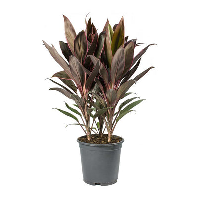 Cordyline fruticosa Rumba - Hawaiian Ti Plant