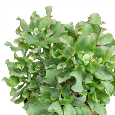 Crassula ovata Undulata - Curly Jade Plant Leaves