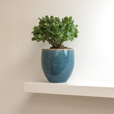 Crassula ovata Undulata - Curly Jade Plant & Lotte Denim Blue Plant Pot