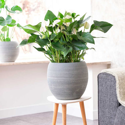 Cresta Plant Pot - Matt Grey - Large Planted