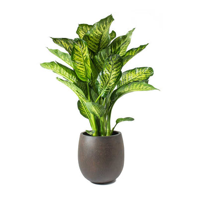 Dieffenbachia Maroba Dumb Cane Rusty Iron Concrete Balloon Planter