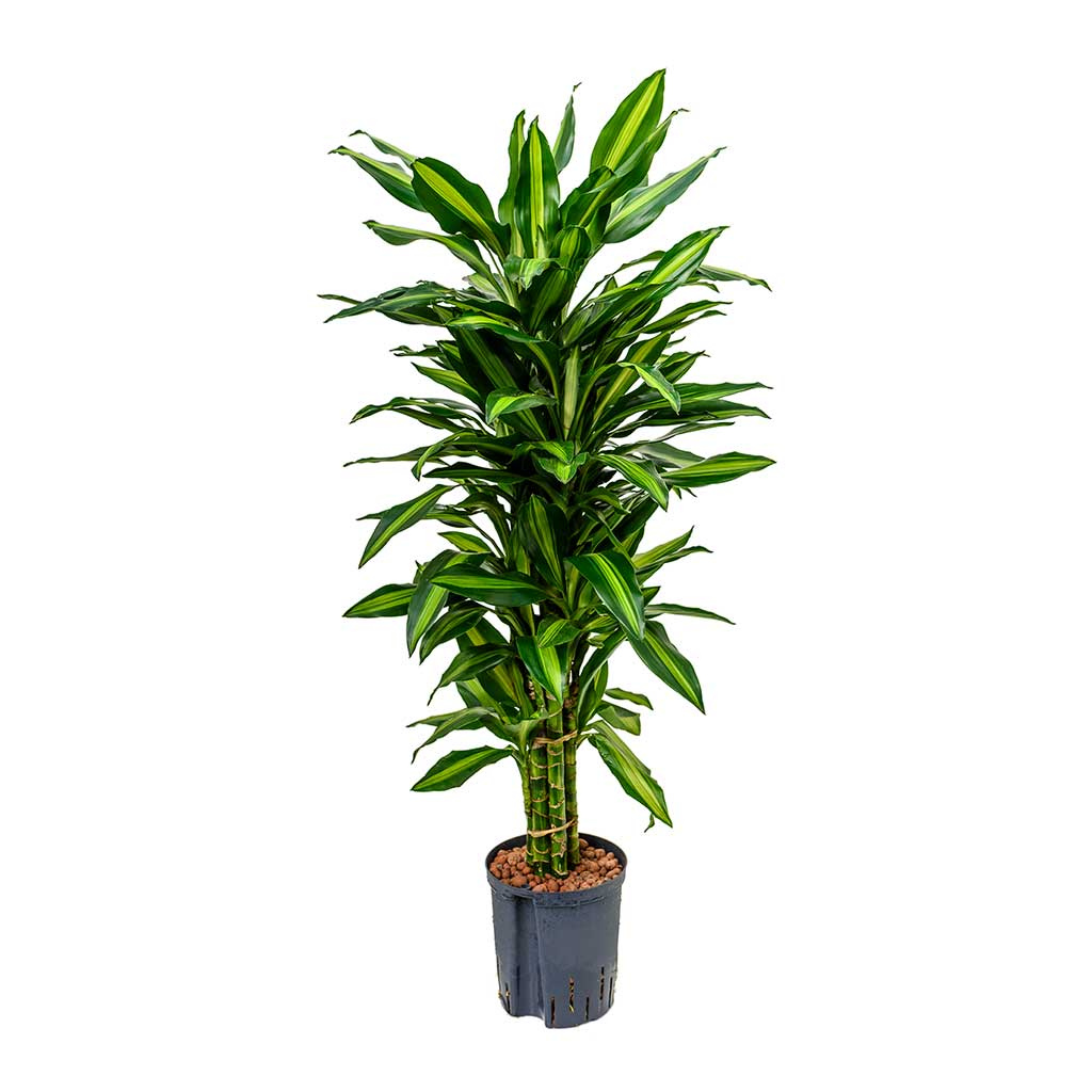 Dracaena Cintho Branched Hydroculture Indoor Plant