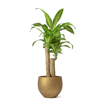 Dracaena Fragrans Massangeana & Mini Ord Metallic Copper Plant Pot