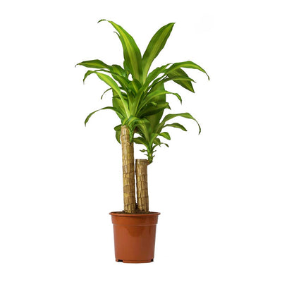 Dracaena fragrans Massangeana - Multi Stem Small