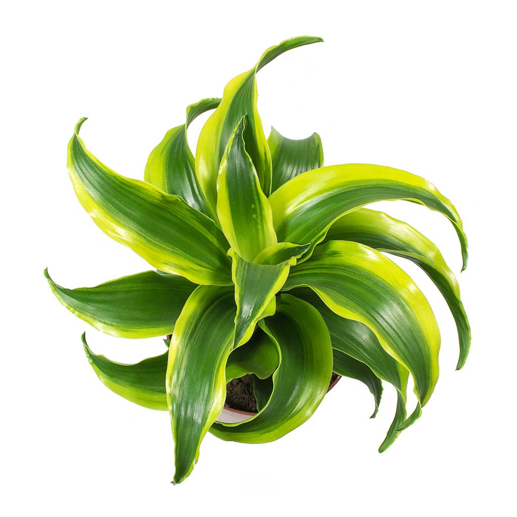 Dracaena fragrans Tornado - Head
